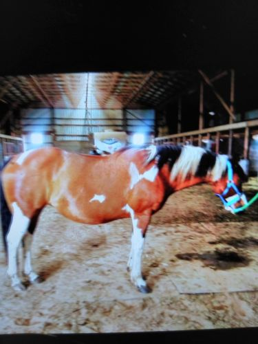 Paint Quarter Horse Horses for sale in Harrison, MI 48625, USA. price 1200USD