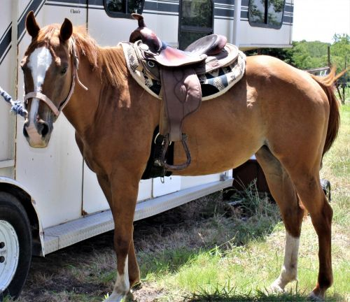 Paint Quarter Horse Horses for sale in Dallas, TX, USA. price 950USD