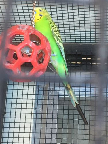 Parakeet Birds for sale in Kinston, NC, USA. price 10USD