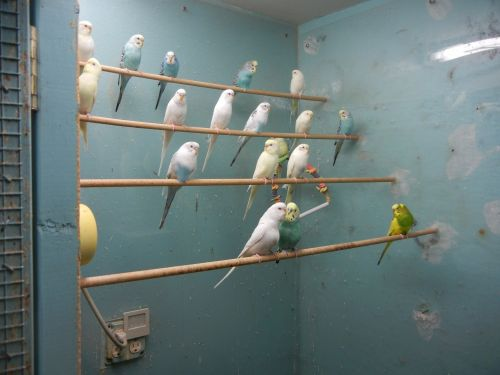 Parakeet Birds for sale in 6528 182nd St, Fresh Meadows, NY 11365, USA. price 150USD