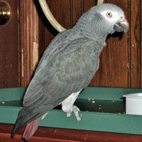 Parrot Birds for sale in Springfield Township, NJ 07081, USA. price 950USD