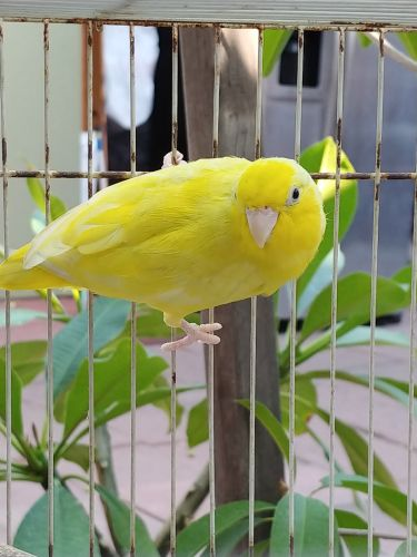 Parrotlet Birds for sale in Anaheim, CA 92804, USA. price 80USD
