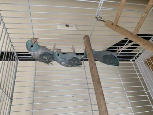 Parrotlet Birds for sale in Westland, MI, USA. price 200USD