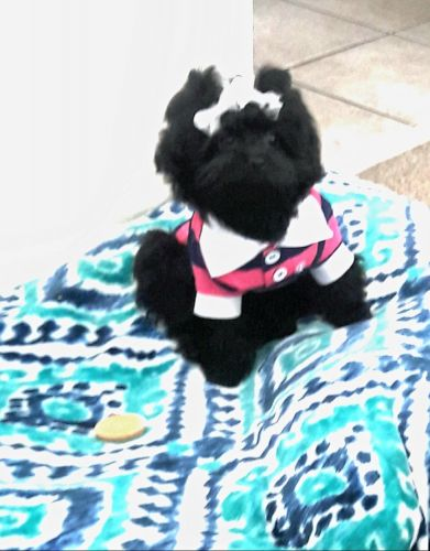 PekePoo Puppies for sale in North Myrtle Beach, SC 29582, USA. price 750USD