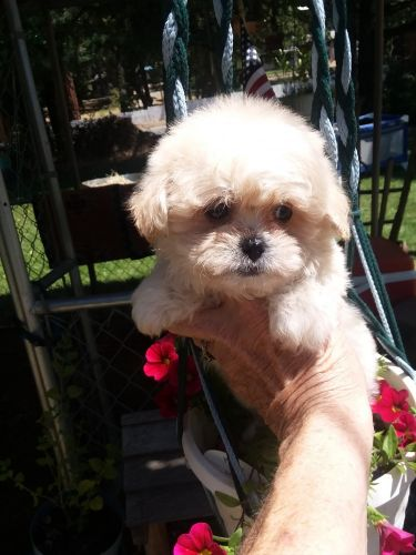 PekePoo Puppies for sale in Medford, OR, USA. price 575USD