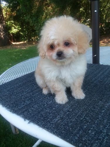 PekePoo Puppies for sale in Medford, OR, USA. price 400USD