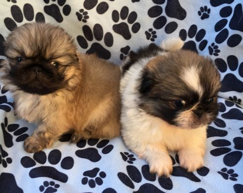 Pekingese Puppies for sale in Columbus, OH, USA. price 1800USD