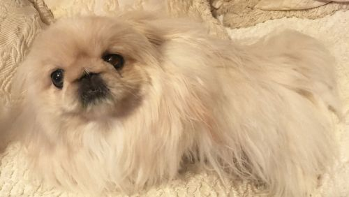 Pekingese Puppies for sale in Tulsa, OK, USA. price 3000USD