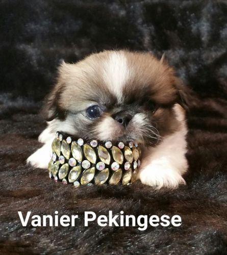Pekingese Puppies for sale in Argyle, TX 76226, USA. price 2500USD