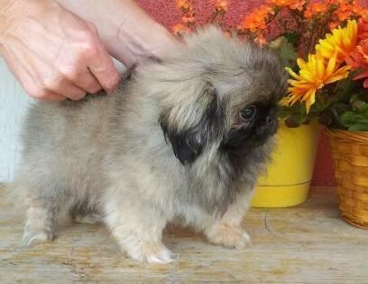 Pekingese Puppies for sale in Chinatown, Los Angeles, CA, USA. price -USD