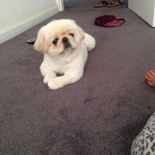 Pekingese Puppies for sale in Dallas, TX, USA. price 500USD