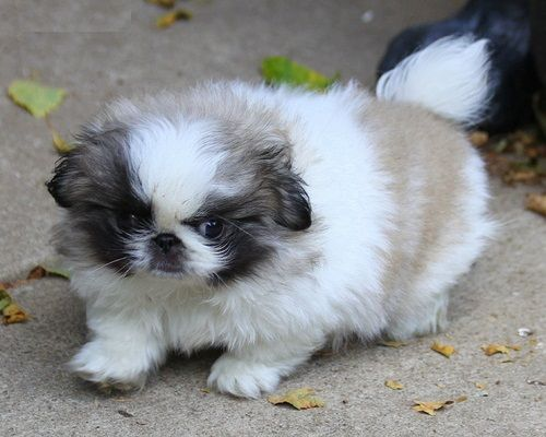Pekingese Puppies for sale in Glasgow, KY 42141, USA. price -USD