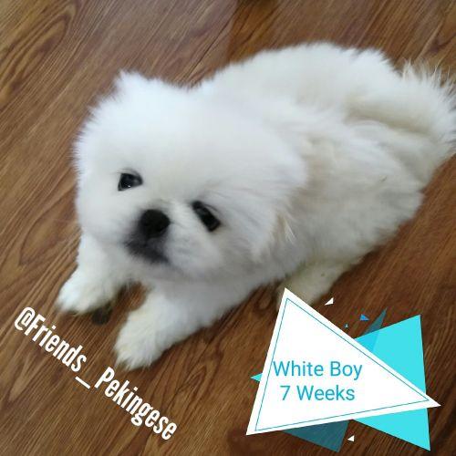 Pekingese Puppies for sale in Las Vegas, NV, USA. price 600USD