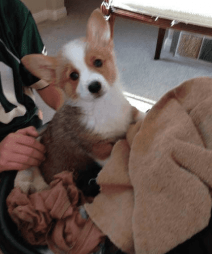 Pembroke Welsh Corgi Puppies for sale in Los Angeles, CA, USA. price -USD
