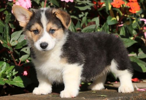 Pembroke Welsh Corgi Puppies for sale in Colorado Springs, CO, USA. price 500USD