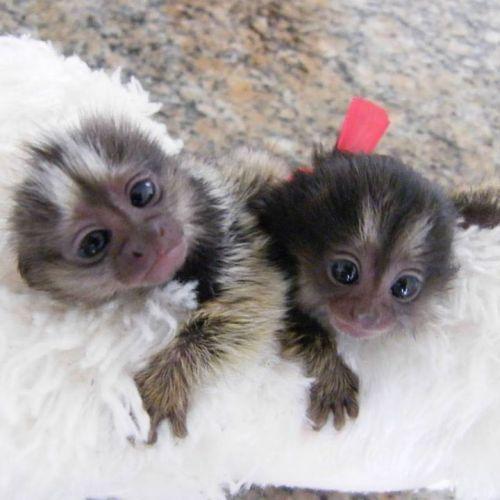Pensillita Marmoset Animals for sale in Winchester, VA 22601, USA. price 520USD
