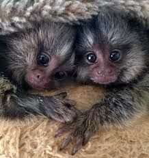 Pensillita Marmoset Animals for sale in Ohio City, Cleveland, OH, USA. price 1500USD