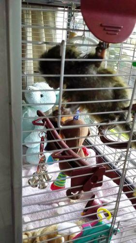 Pensillita Marmoset Animals for sale in CA-111, Palm Desert, CA, USA. price 400USD