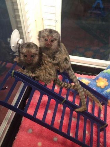 Pensillita Marmoset Animals for sale in McAllen, TX, USA. price 600USD