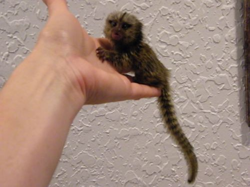 Pensillita Marmoset Animals for sale in Beverly Hills, CA, USA. price 560USD