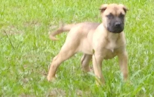 Perro de Presa Canario Puppies for sale in Homosassa, FL, USA. price -USD