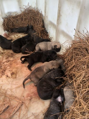 Perro de Presa Canario Puppies for sale in Burgess, VA 22432, USA. price 800USD