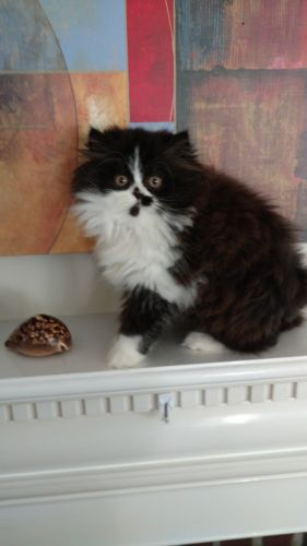 Persian Cats for sale in Wellesley, MA, USA. price 800USD