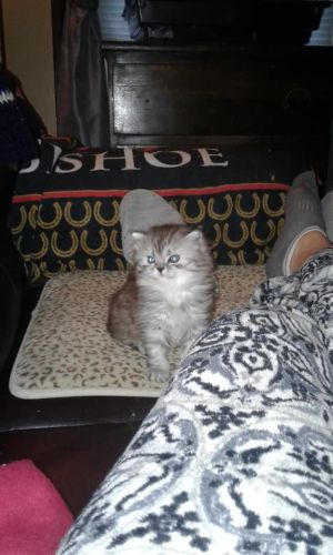 Persian Cats for sale in Worcester, MA, USA. price 650USD