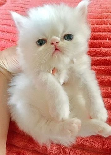 Persian Cats for sale in Alpha, NJ 08865, USA. price 750USD