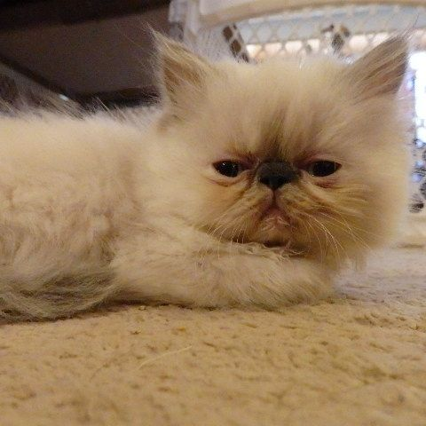 Persian Cats for sale in Denver, CO, USA. price 500USD