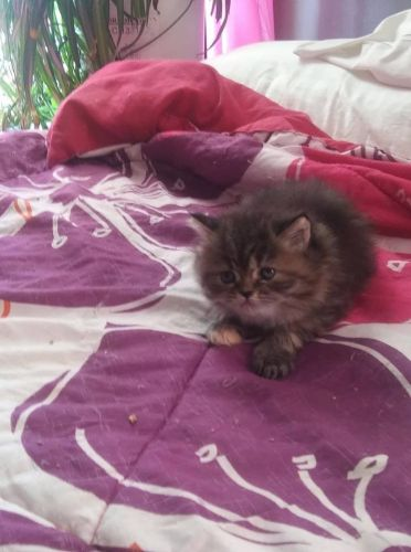 Persian Cats for sale in Worcester, MA, USA. price 750USD