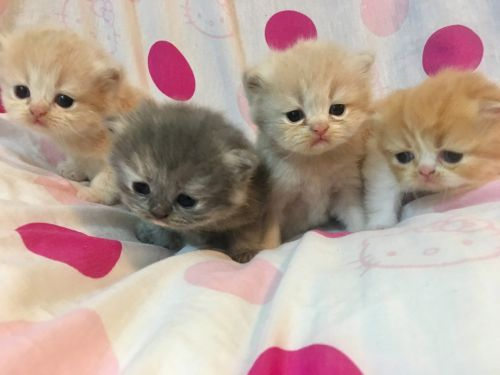Persian Cats for sale in Sandy Springs, GA, USA. price 700USD