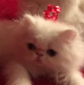 Persian Cats for sale in Atlanta, GA, USA. price 1300USD