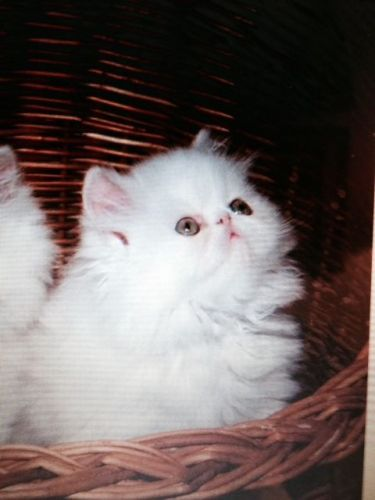 Persian Cats for sale in Atlanta, GA, USA. price 950USD