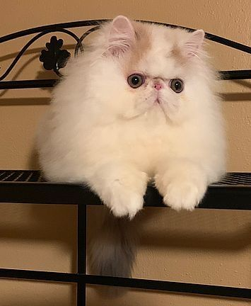 Persian Cats Sale | Brookville, PA #1523 | Hoobly US