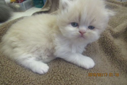 Persian Cats for sale in Rochester, NH, USA. price 650USD