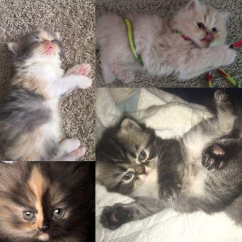 Selkirk Rex Cats Sale | Sevierville, TN #2590 | Hoobly US