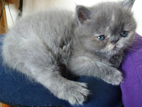 Persian Cats for sale in Montevideo, MN 56265, USA. price 700USD