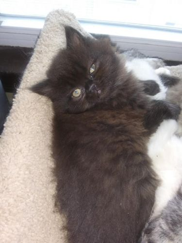 Persian Cats for sale in Worcester, MA, USA. price 700USD