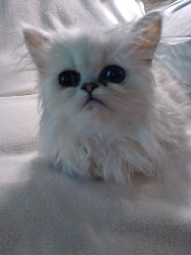Persian Cats for sale in Trussville, AL, USA. price 200USD