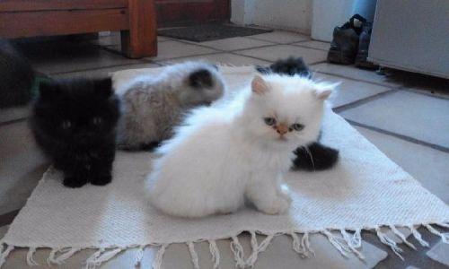 Cats Sale Texas | Hoobly US