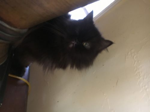 Persian Cats for sale in Aledo, TX 76008, USA. price 650USD