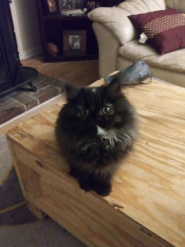 Persian Cats for sale in Nashville, TN, USA. price 400USD