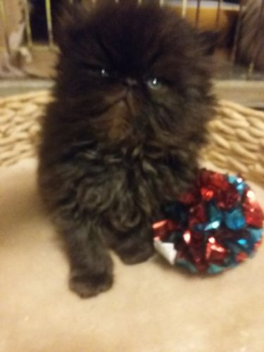 Persian Cats for sale in Albany, OR, USA. price 500USD