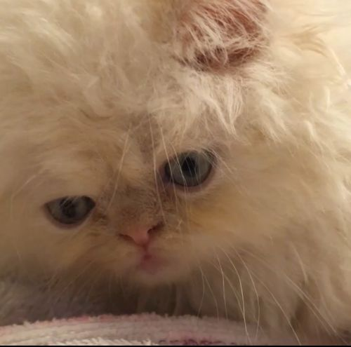 Persian Cats for sale in Sandy Springs, GA, USA. price 800USD