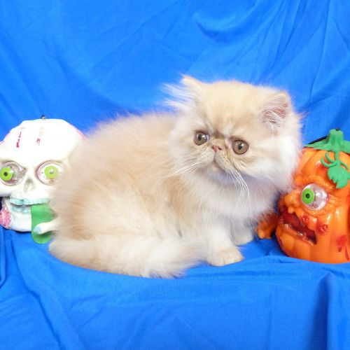Persian Cats for sale in Woodbury, MN, USA. price 650USD