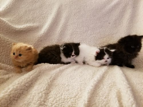 Persian Cats for sale in Greenfield, WI, USA. price 350USD
