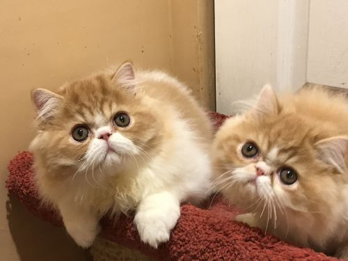 Persian Cats for sale in Annapolis, MD, USA. price 750USD