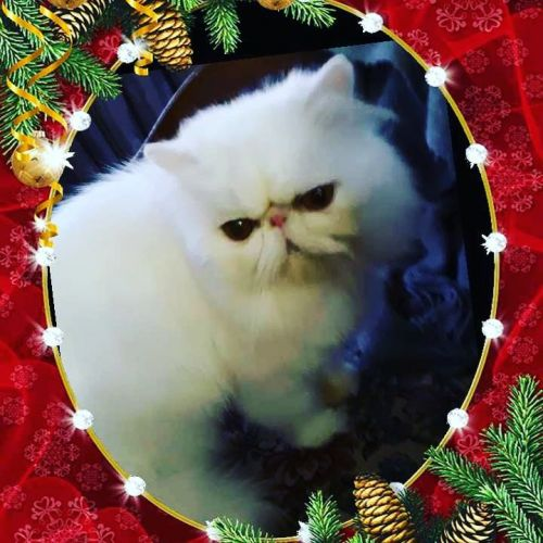 Persian Cats for sale in Northern California, CA, USA. price 500USD