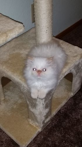 Persian Cats for sale in Fayetteville, AR, USA. price 500USD